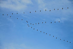 Migratory birds, cranes in the sky Royalty Free Stock Photography