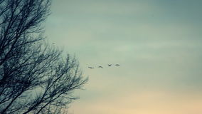 Migratory birds fly. Hd. Late fall stock video footage