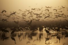 Migratory birds fly at sunset over the lake royalty free stock photography