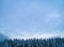 Migratory birds. Fly to warmer climates over the trees in the snow Royalty Free Stock Photography
