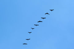 Migratory Birds Flying on blue sky. Spring royalty free stock image