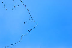 Migratory Birds Flying on blue sky Royalty Free Stock Photos