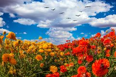 Migratory birds flying. Concept of rural tourism. The southern sun illuminates the flower fields of red and yellow buttercups. Migratory birds flying high in the royalty free stock photography