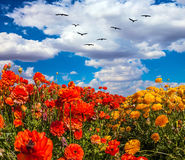 Migratory birds. Flying high in the cumulus clouds. The southern sun illuminates the flower fields of red buttercups. The concept of  eco-tourism and recreation Stock Photo