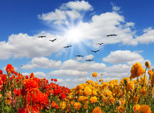 Migratory birds. Flying high in the sky. Strong wind drives the cirrus clouds. The southern sun illuminates the flower fields. Concept of rural tourism Royalty Free Stock Photo
