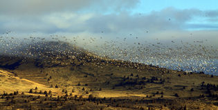 Migratory Birds Flying Over Hills. A large flock of migratory waterfowl flying together over distant hills in early morning light royalty free stock images