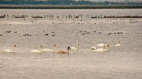 Migratory birds on the Great Salt Lake in Pomorie, Bulgaria Stock Photos