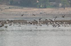 Migratory Birds in a Lake. Migratory Birds Bar-headed Geese , Great Cormorants, Northern Pintials and some other migratory ducks in a Lake royalty free stock photos