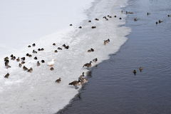 Migratory birds resting on ice Stock Image