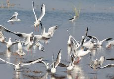Migratory birds sea gulls came to Bhopal. First flock of migratory birds sea gulls seen in Kaliasot reservoir in Bhopal, India. Many beautiful birds from Royalty Free Stock Images
