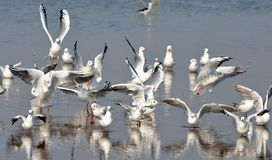 Migratory birds sea gulls came to Bhopal. First flock of migratory birds sea gulls seen in Kaliasot reservoir in Bhopal, India. Many beautiful birds from Royalty Free Stock Image