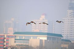 Migratory birds in the Luohe wetland, Luoyang. Migratory birds are migratory birds. They travel between the breeding grounds and the cold areas in the two royalty free stock photo