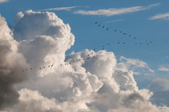 Migratory birds Stock Images