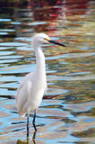 Migratory Crane Bird Royalty Free Stock Image