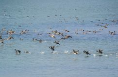 Migratory Ducks and Common Coots. Swimming and flying over the water of wetland royalty free stock photo