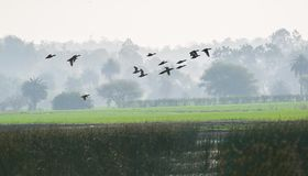 Migratory Ducks in Foggy Morning. Migratory Ducks flying in Foggy Winter Morning over the wetland and trees in fog seen in background royalty free stock photo