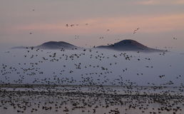 Migratory Birds and Foggy Mountains. Ducks and geese in a lake at Lower Klamath National Wildlife Refuge with mountains and foggy morning background Stock Images