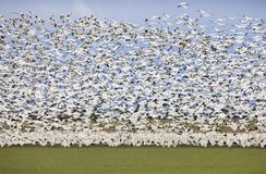 Migratory Geese Stock Image
