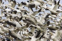 Migratory Geese. Crowded Snow  Geese lift-off in blue sky Royalty Free Stock Photos
