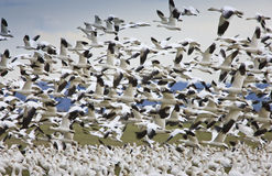 Migratory Geese. Snow geese lift-off from field Royalty Free Stock Photos