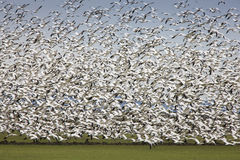 Migratory Geese Lift-off. Snow  Geese covering the sky Royalty Free Stock Photo