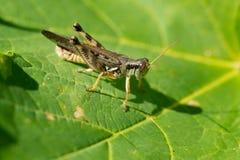 Migratory Grasshopper Stock Photography