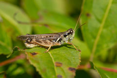 Migratory Grasshopper Royalty Free Stock Images