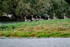 Migratory Greylag geese seen resting on a small island within a large nature reserve. The colony of migratory geese, some of which can be seen resting after Stock Photo