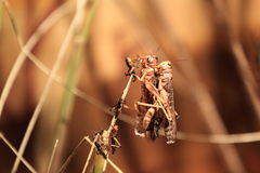 Migratory locust. The couple of mating migratory locusts royalty free stock photos