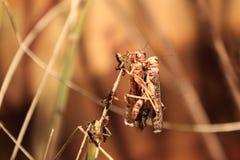 Migratory locust Royalty Free Stock Photos