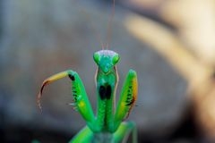 migratory locust head with high depth focus Stock Images