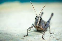 Free Migratory Locust, Locust, Locusta Migratoria. Grasshopper Locust Isolated On White Background. Locust Attack In India Stock Photo - 189692190