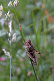 Migratory Locust Stock Images