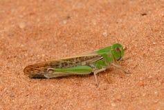 Migratory locust Royalty Free Stock Photo