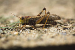 Migratory locust (Locusta migratoria). Stock Photo