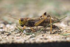 Migratory locust (Locusta migratoria). Royalty Free Stock Images