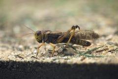 Migratory locust (Locusta migratoria). Stock Images