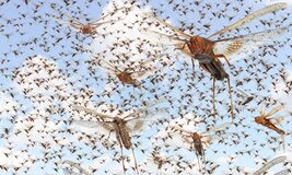 Free Migratory Locust Swarm Royalty Free Stock Photo - 189323775