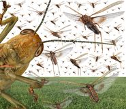 Migratory locust swarm. Locusta migratoria. Acrididae. Oedipodinae. Agriculture and pest control royalty free stock photography