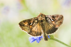 Migratory moth Silver Y. Or Autographa gamma butterfly feeding on flowers Royalty Free Stock Image