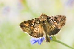 Migratory moth Silver Y Royalty Free Stock Image
