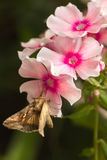 Migratory moth Silver Y. Quick moving Migratory moth Silver Y or Autographa gamma butterfly feeding on pink Phlox flowers in summer Royalty Free Stock Image