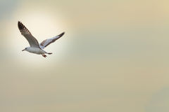 Migratory seagulls Royalty Free Stock Image