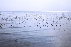 Migratory seagulls Royalty Free Stock Images