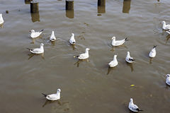 Migratory seagulls Royalty Free Stock Photo