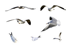 Migratory seagulls Stock Photo