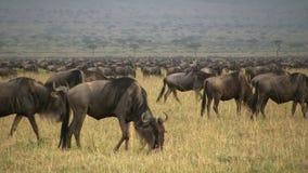 Migrazione degli gnu stock footage