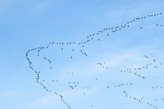 Migrazione degli uccelli fotografie stock