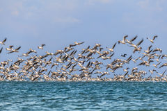 Migrazione dei pellicani Fotografie Stock Libere da Diritti