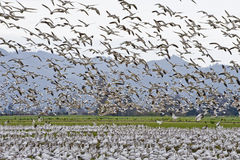 Migrazione della moltitudine delle oche di neve Fotografia Stock Libera da Diritti
